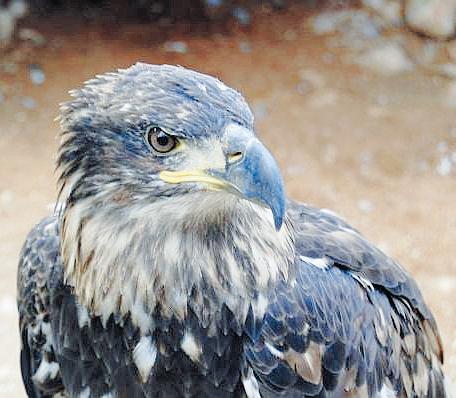 spanish_imperial_eagle_1